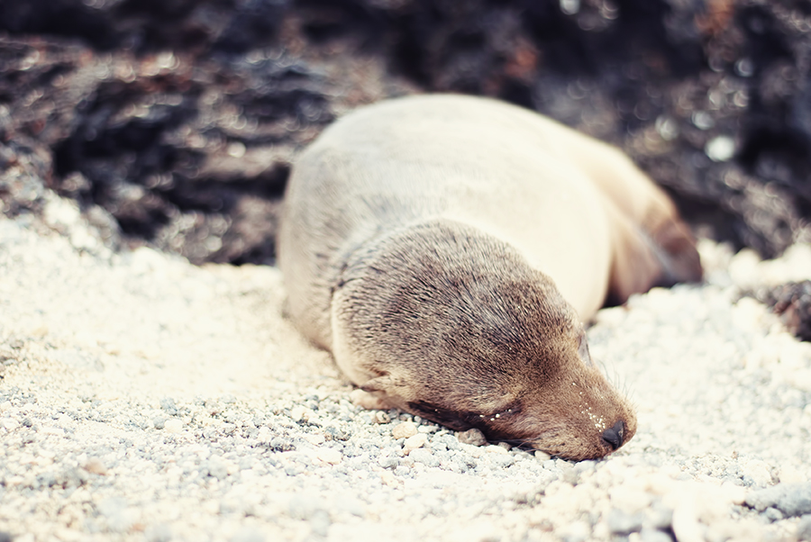 sleepysealion